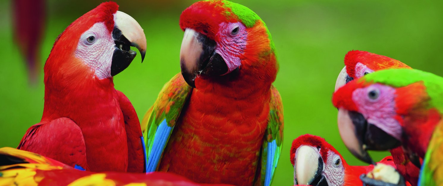 A group of colourful parrots.