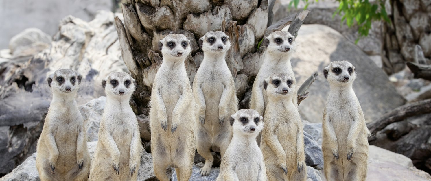A group of meerkats standing on their hind paws.